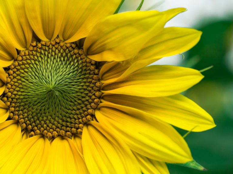 Cosphaderm® E-1000 Sunflower