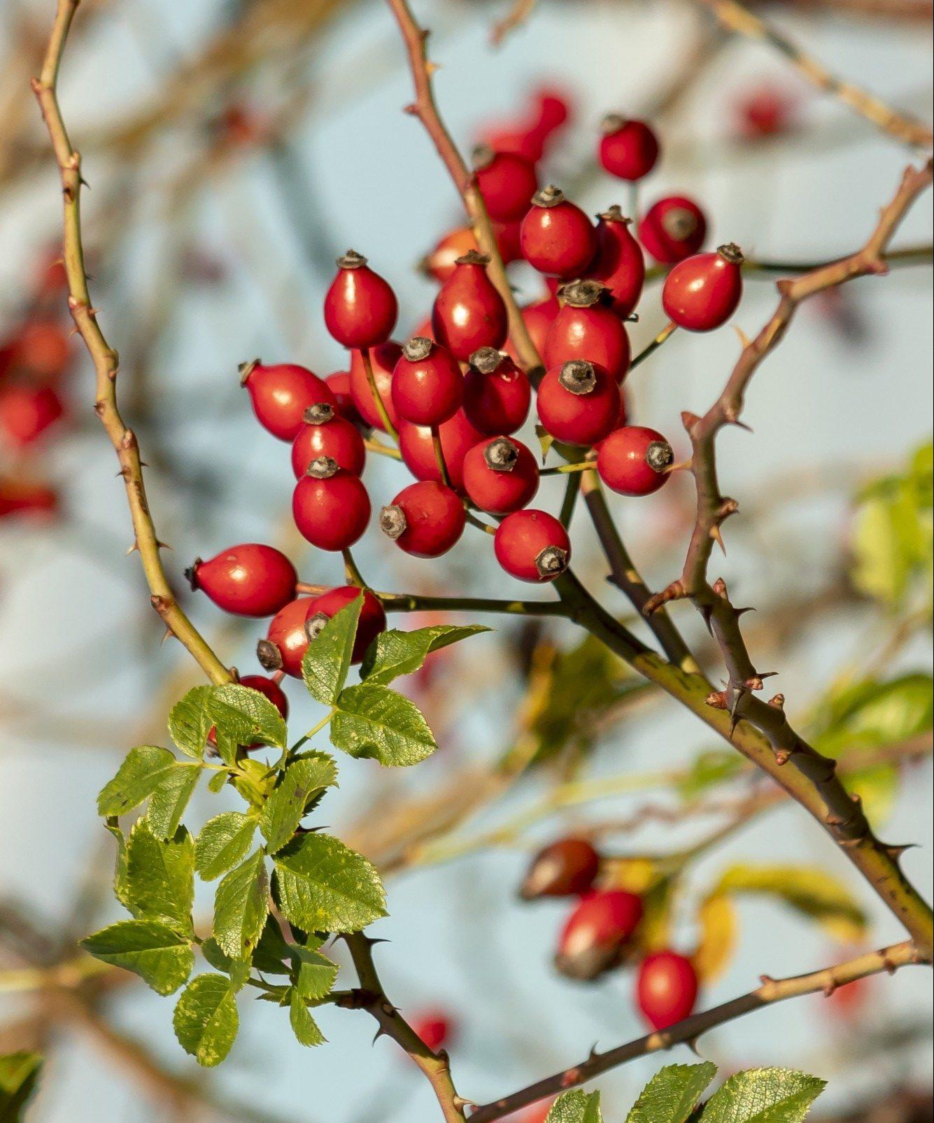 Floviva Rosehip Seed Oil