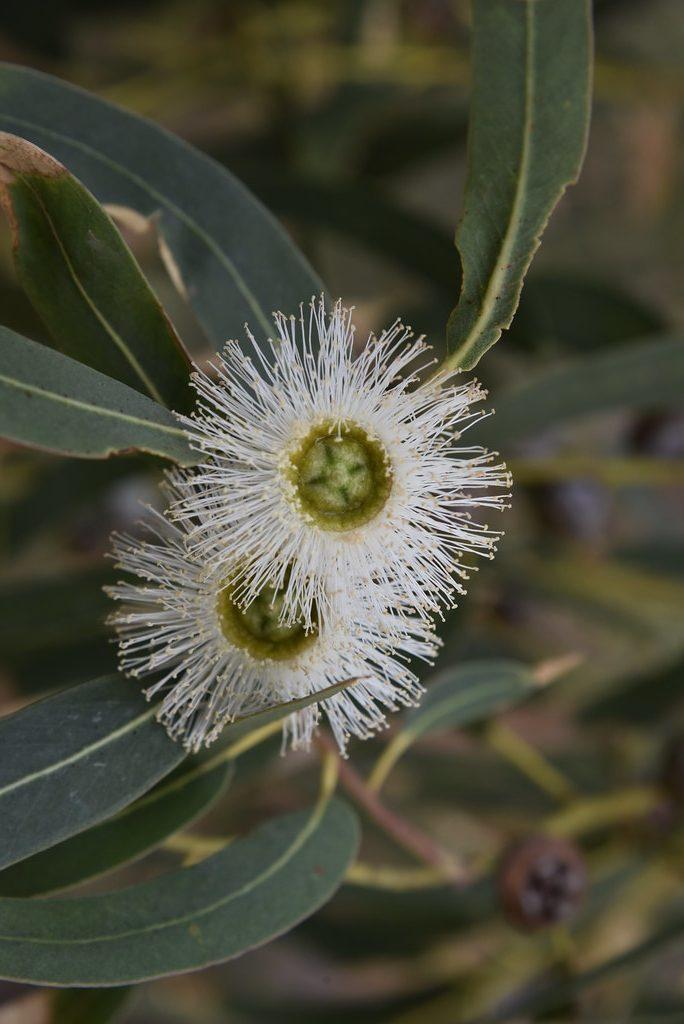 Floviva Eucalyptus Globulus Oil