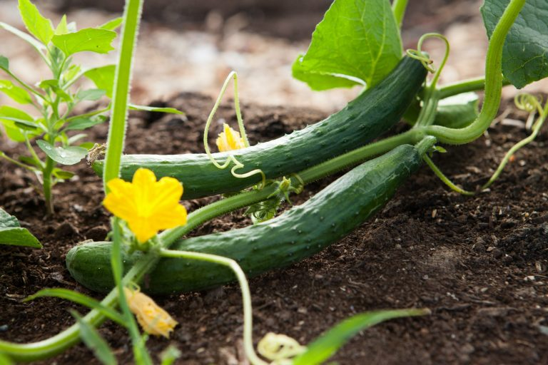 Organic Cucumber Cellular Water