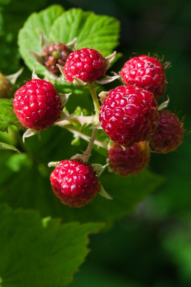 Organic Raspberry Cellular Water